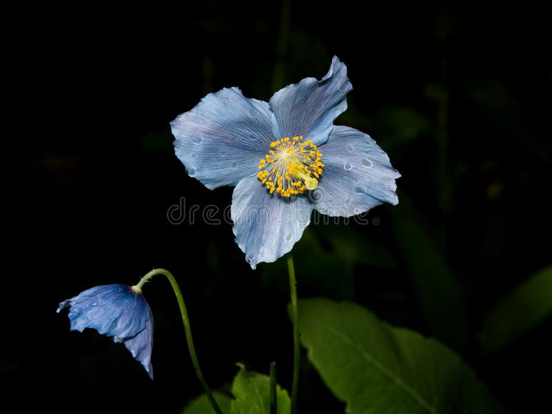 Himalayan blue Tibet Poppy. Blue flowers of Himalayan blue Tibet Poppy Meconopsis betonicifolia royalty free stock images