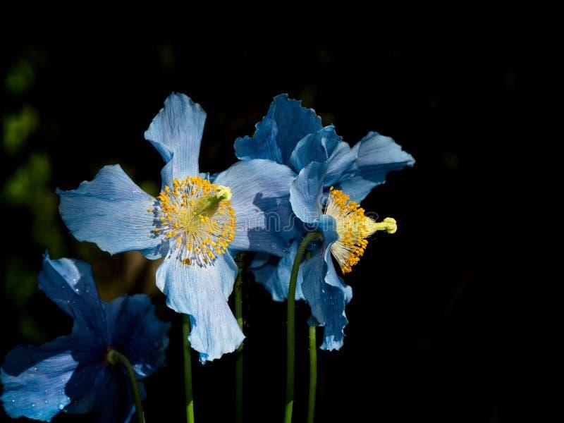 Himalayan blue Tibet Poppy. Blue flowers of Himalayan blue Tibet Poppy Meconopsis betonicifolia royalty free stock photo