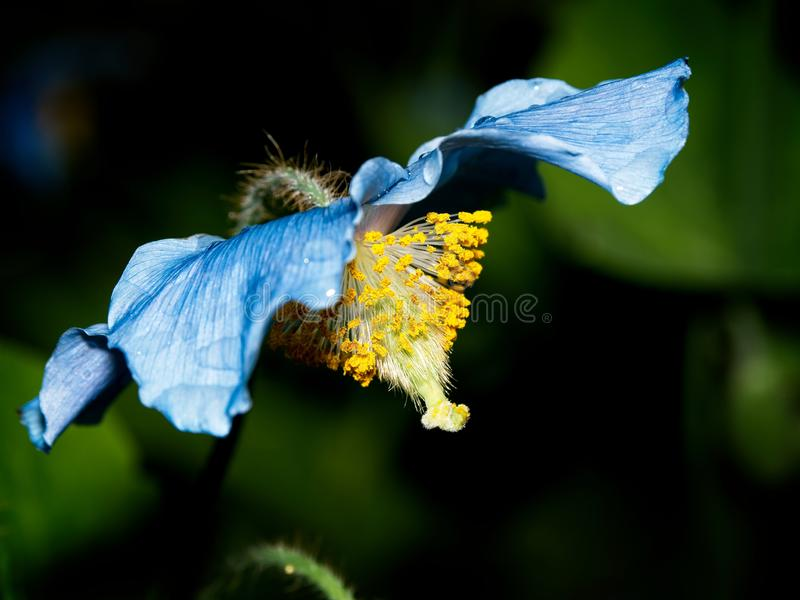 Himalayan blue Tibet Poppy. Blue flowers of Himalayan blue Tibet Poppy Meconopsis betonicifolia stock images