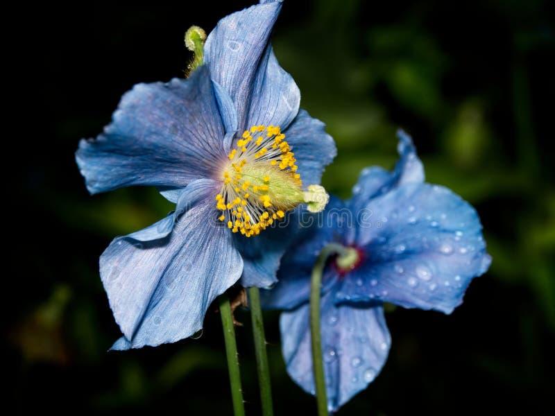 Himalayan blue Tibet Poppy. Blue flowers of Himalayan blue Tibet Poppy Meconopsis betonicifolia stock photo
