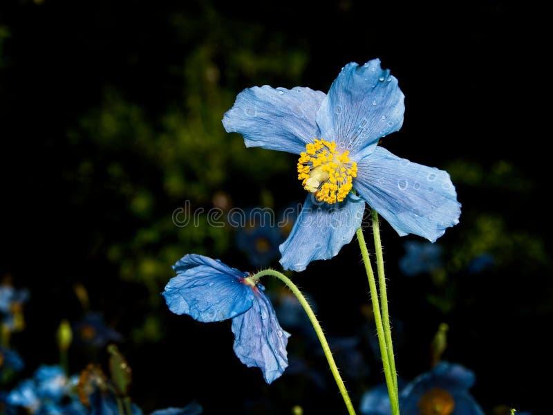 Himalayan blue Tibet Poppy. Blue flowers of Himalayan blue Tibet Poppy Meconopsis betonicifolia royalty free stock photos