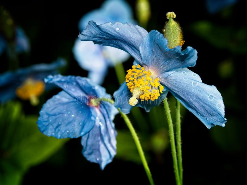 Himalayan blue Tibet Poppy. Blue flowers of Himalayan blue Tibet Poppy Meconopsis betonicifolia stock photography