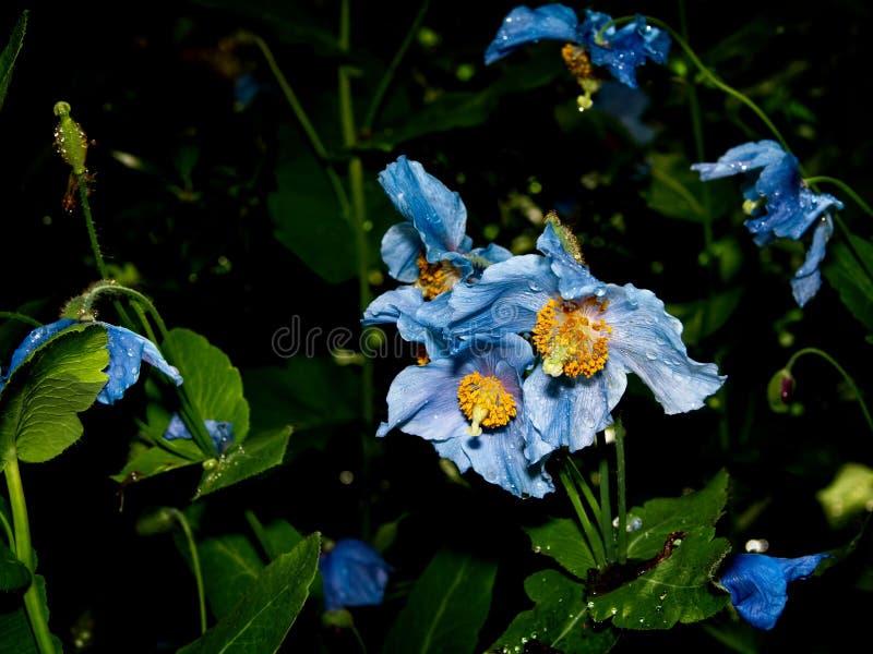 Himalayan blue Tibet Poppy. Blue flowers of Himalayan blue Tibet Poppy Meconopsis betonicifolia stock photos