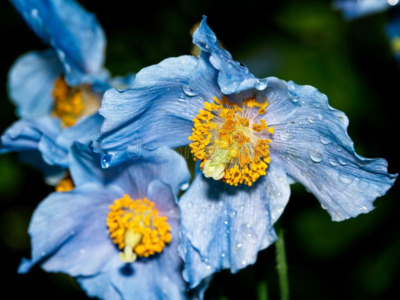Himalayan blue Tibet Poppy. Blue flowers of Himalayan blue Tibet Poppy Meconopsis betonicifolia royalty free stock photography