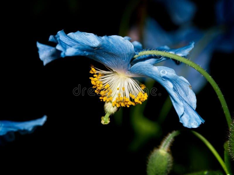 Himalayan blue Tibet Poppy. Blue flowers of Himalayan blue Tibet Poppy Meconopsis betonicifolia stock image