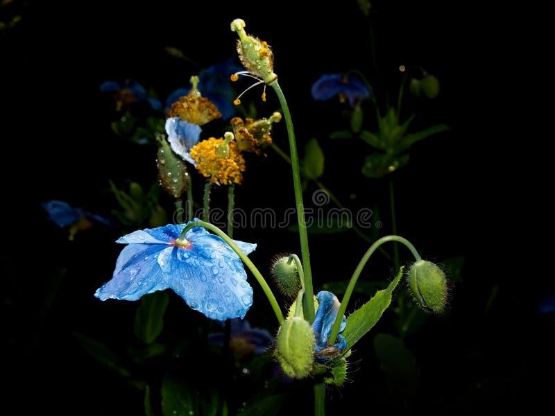 Himalayan blue Tibet Poppy. Blue flowers of Himalayan blue Tibet Poppy Meconopsis betonicifolia royalty free stock image