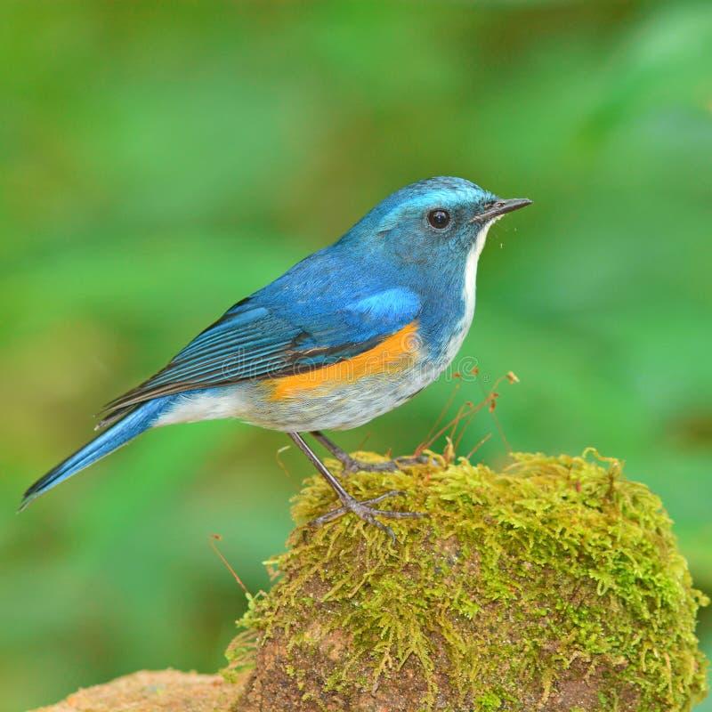 Himalayan Bluetail royalty free stock image