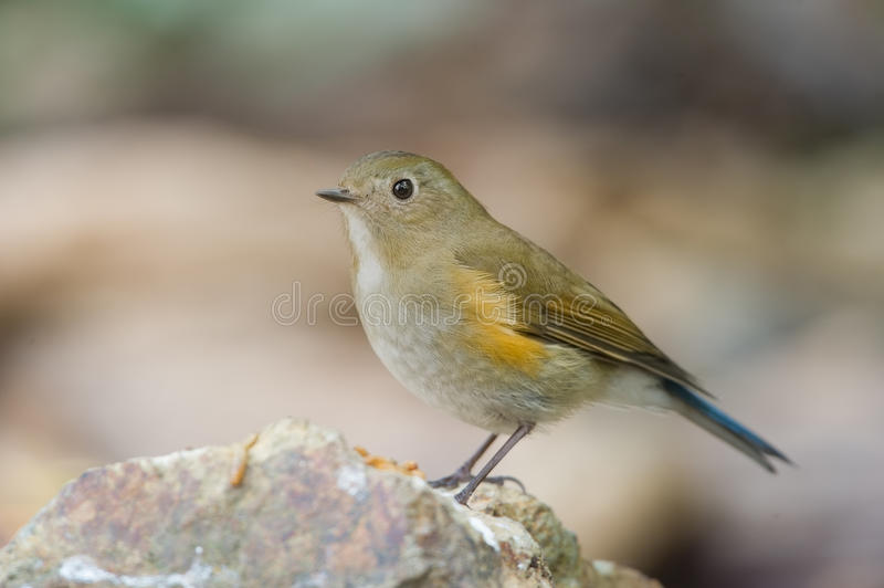 The Himalayan bluetail royalty free stock images