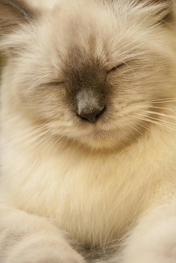 Free Himalayan Cat Royalty Free Stock Photography - 16916717