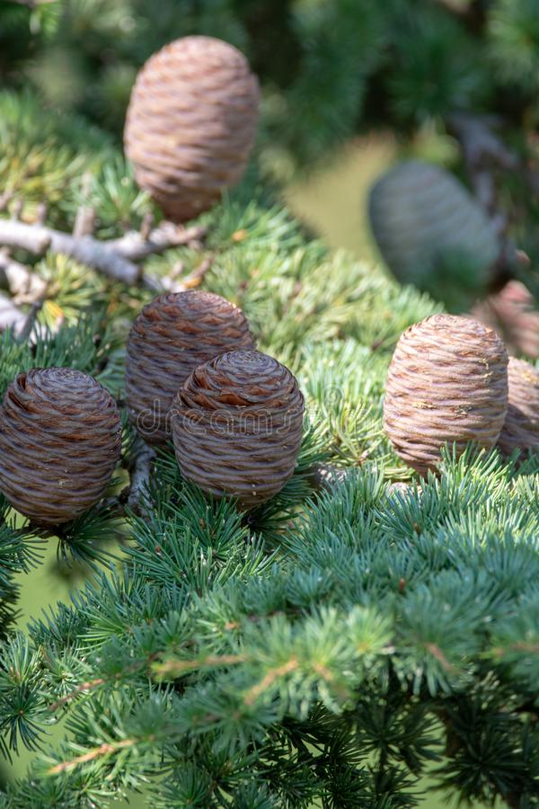 Himalayan cedar or deodar cedar tree with female cones, Christmas background royalty free stock images