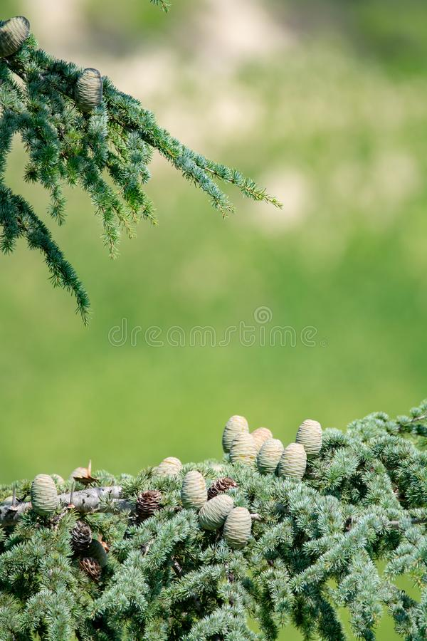 Himalayan cedar or deodar cedar tree with female and male cones, Christmas background copy space royalty free stock photos