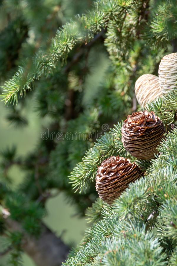 Himalayan cedar or deodar cedar tree with female and male cones, Christmas background royalty free stock photos