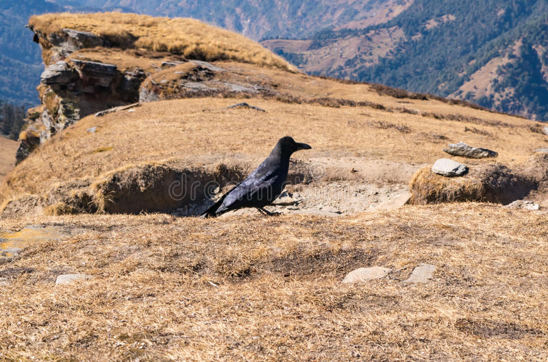 Himalayan crow at Chandrashila peak Chopta Tungnath Uttrakhand. Himalayan crow has a slightly wedge-shaped tail unlike the rounded tail of the Indian jungle crow stock photo