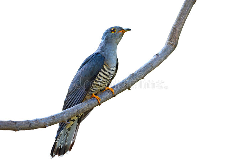 Himalayan Cuckoo bird royalty free stock photo