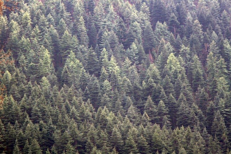 Himalayan fir (Abies spectabilis royalty free stock images