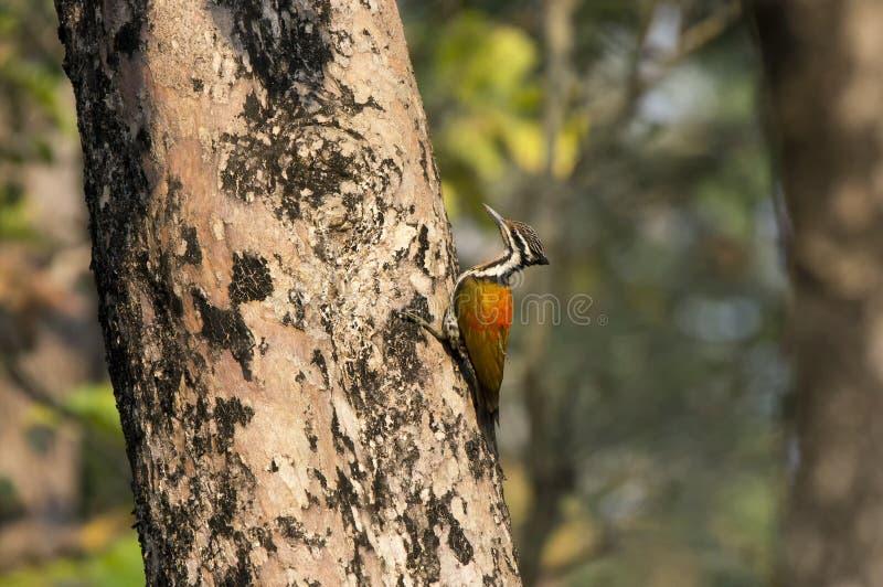 Himalayan Flameback, Dinopium-shorii, Chitwan - Nepal stock afbeeldingen
