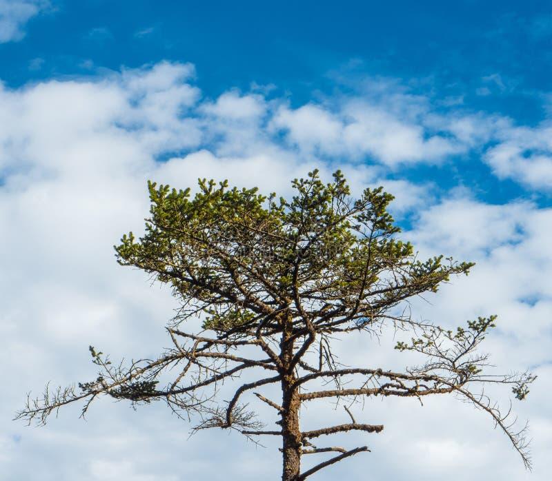 Himalayan grönt träd royaltyfri bild