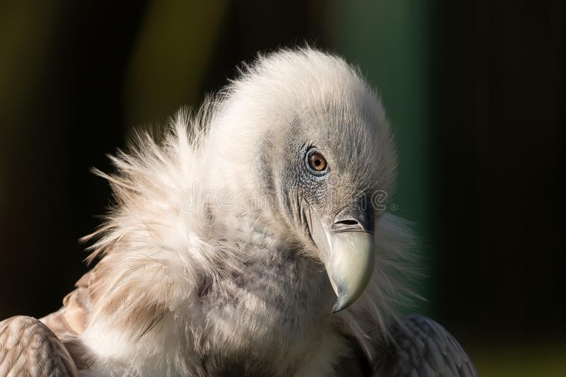 Himalayan griffon vulture portrait with dark background stock photo