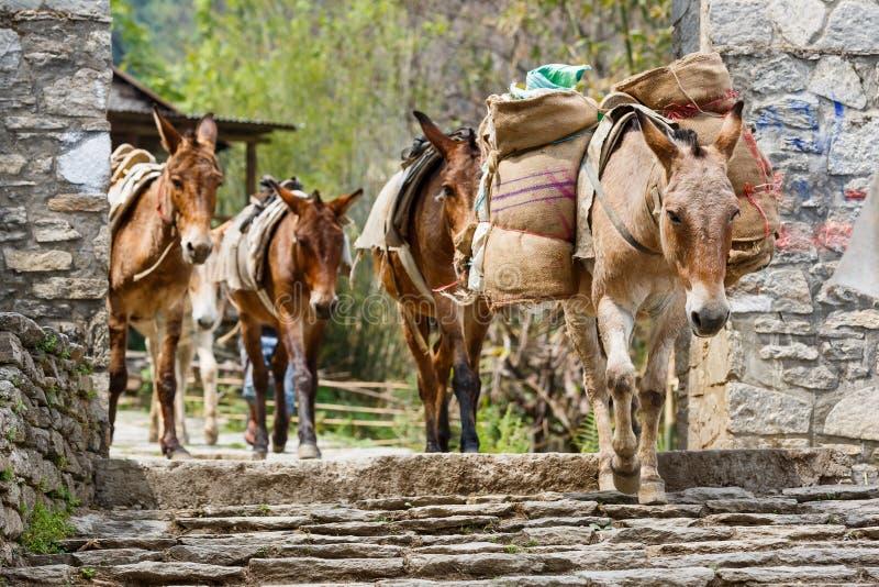 Himalayan hästhusvagn arkivfoton