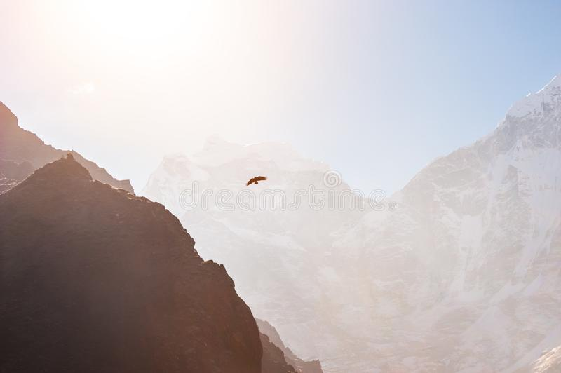 Himalayan hawk soaring in the mountains at sunrise. Himalayas, Nepal royalty free stock images