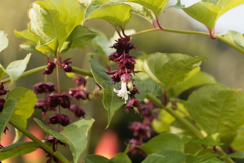 Himalayan honeysuckle Leycesteria formosa. Flowers and fruit of a Himalayan honeysuckle Leycesteria formosa royalty free stock image