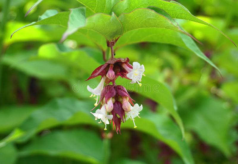 Himalayan honeysuckle showy and bright flowers and  green foliage. Other names Leycesteria formosa, Flowering nutmeg. Himalayan honeysuckle showy and bright royalty free stock photo