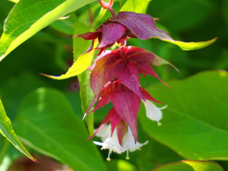 Himalayan honeysuckle showy and bright flowers and  green foliage. Other names Leycesteria formosa, Flowering nutmeg, Himalaya nut. Meg or Pheasant berry. Native royalty free stock photo
