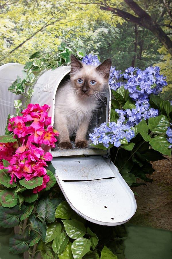 Himalayan Kitten in Mailbox stock photography