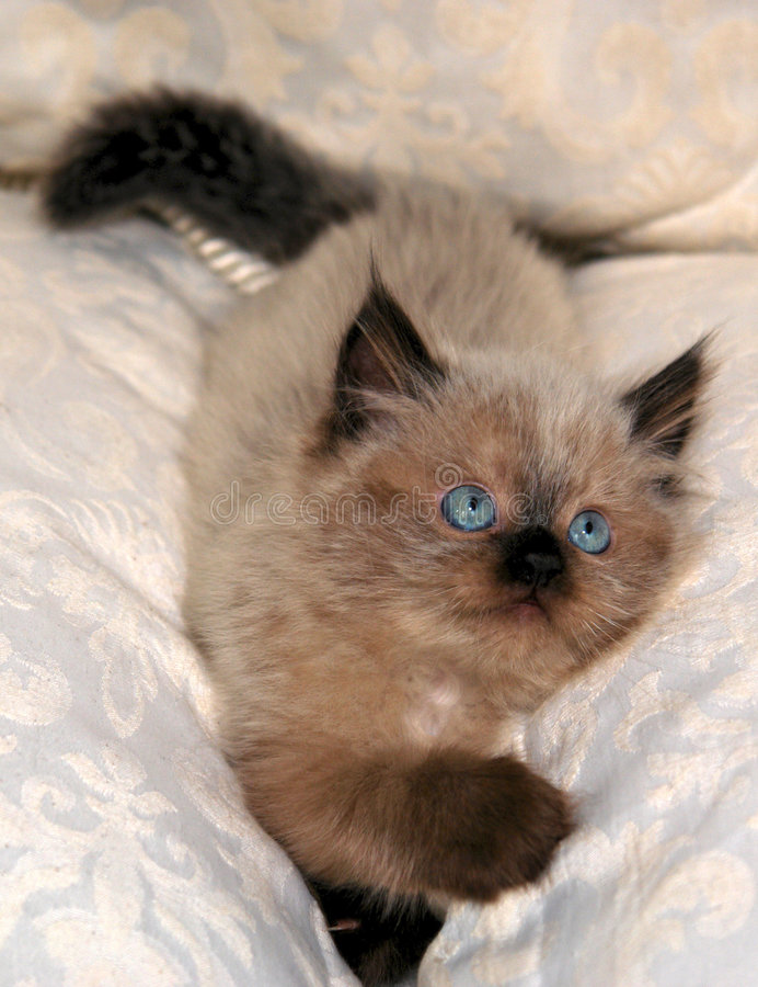 Download Himalayan Kitten VI stock image. Image of kitten, mouth - 2498281