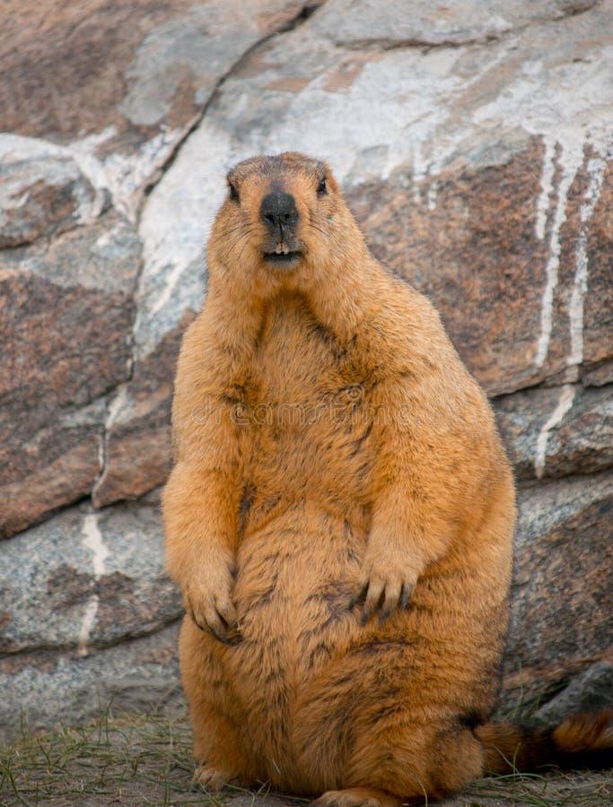 himalayan marmot dichte omhoog geschotene rotsen royalty-vrije stock afbeelding