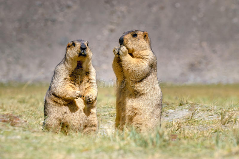 Himalayan marmots pair standing in open grassland, Ladakh, India royalty free stock photography
