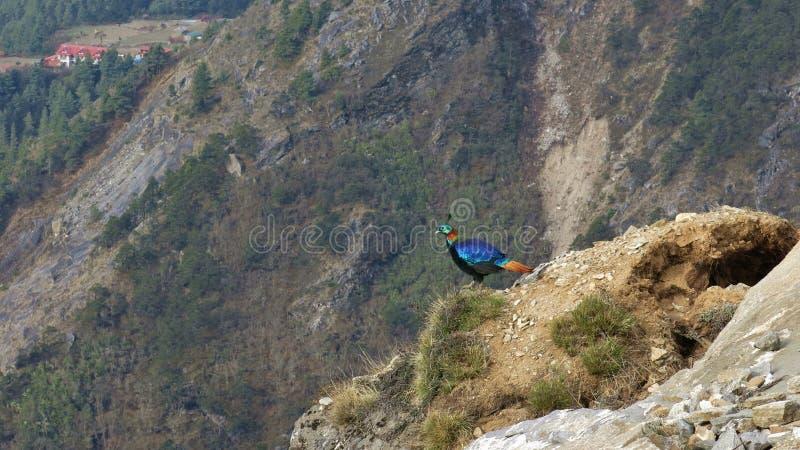 Himalayan Monal namngav också Danphe, nationell fågel av Nepal arkivfoto