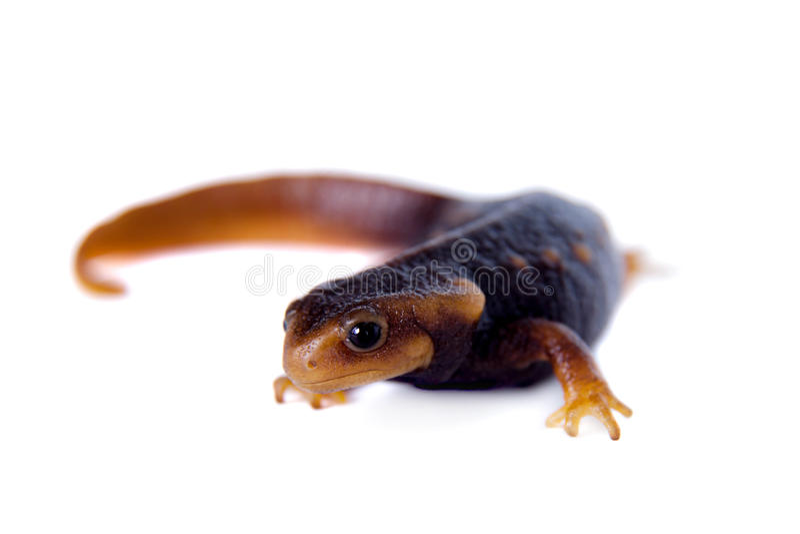 Himalayan newt που απομονώνεται στο λευκό στοκ φωτογραφία