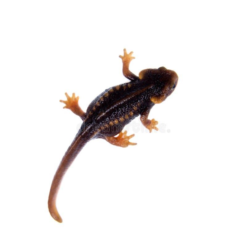 Himalayan newt στο λευκό στοκ φωτογραφίες με δικαίωμα ελεύθερης χρήσης