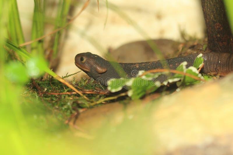 Himalayan newt στοκ εικόνες