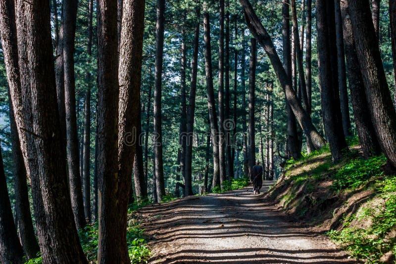 Himalayan sörja trädskogen fotografering för bildbyråer