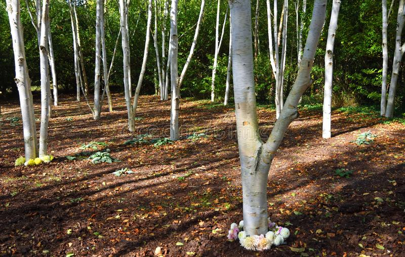 Himalayan Silver Birch with their pure white trunks  in winter garden. stock photos