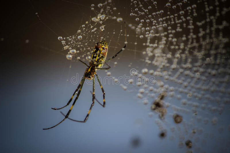 Himalayan Spider. Beautiful Himalayan spider with pearly web stock images