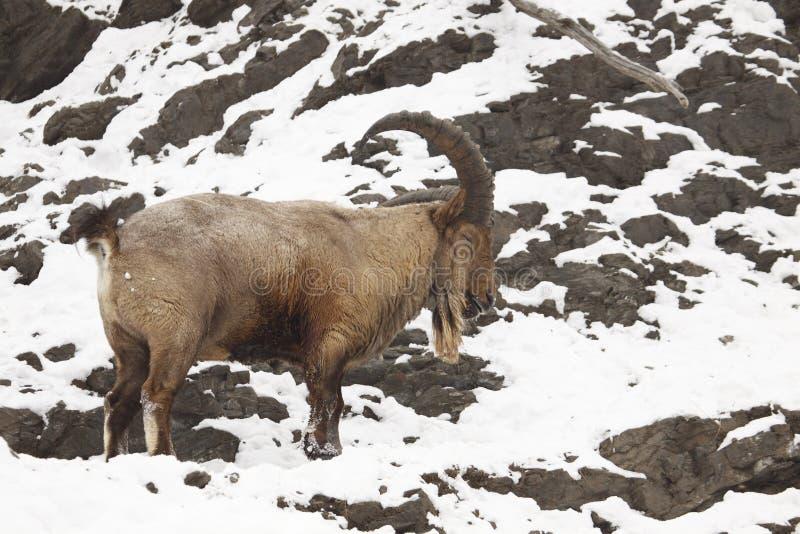 Himalayan tahr stock photo