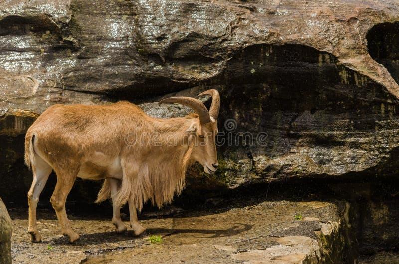 Himalayan tahr stock photography