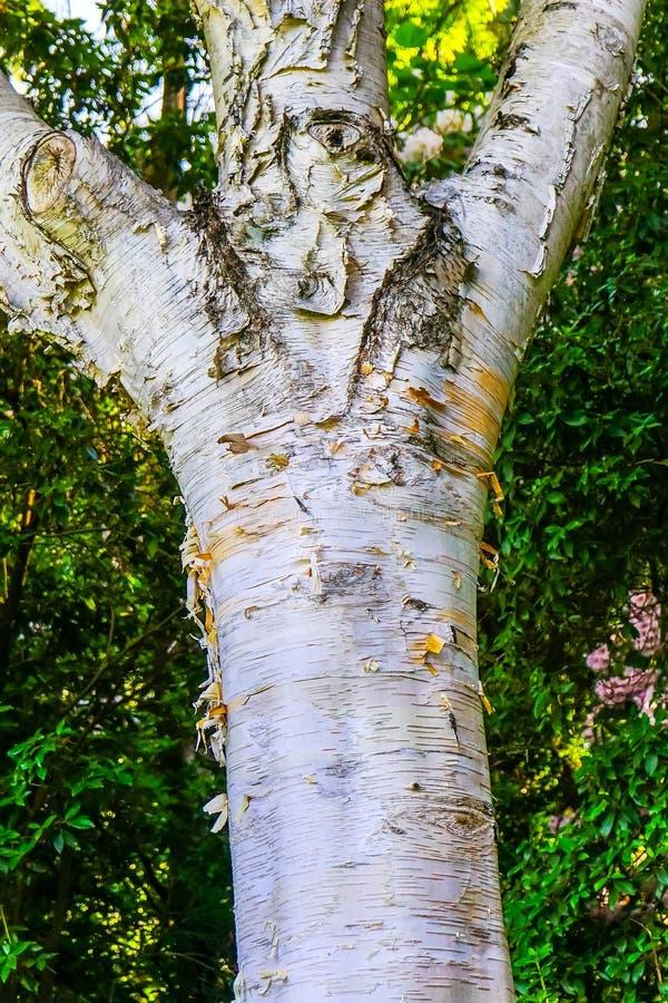 Himalayan White Birch Tree Van Dusen Garden Vancouver Canada stock photography
