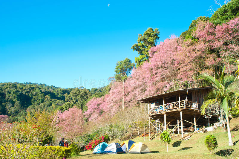 himalayan wild för Cherry fotografering för bildbyråer