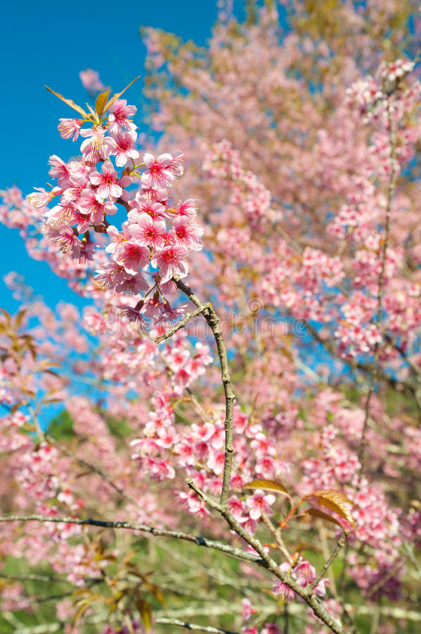 himalayan wild för Cherry arkivfoto