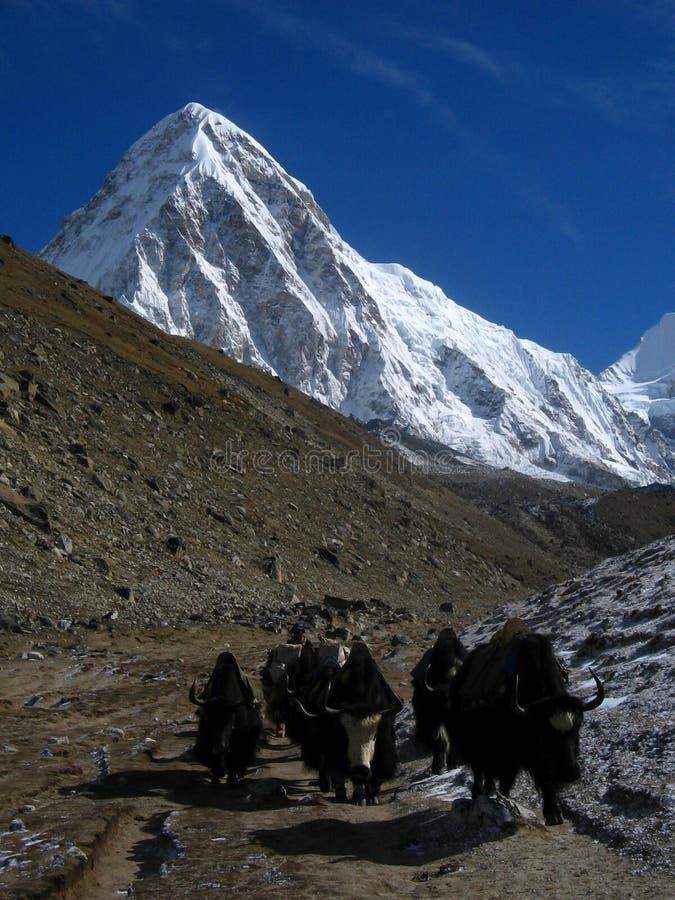 himalayan yaks arkivbilder