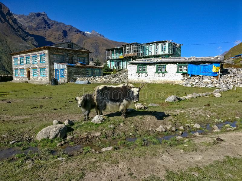 Himalayan Yaks. In the hilly area Langtang National Park in Nepal royalty free stock photography