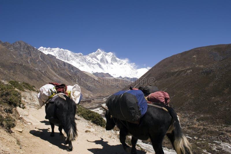 Himalayan Yaks - Nepal Royalty Free Stock Images
