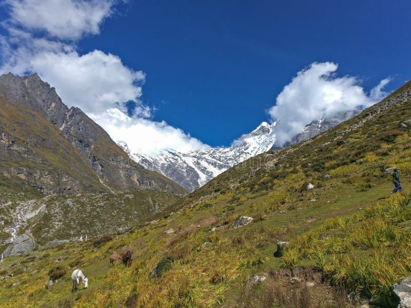 Himalayan Yaks och hästar som betar gräs fotografering för bildbyråer