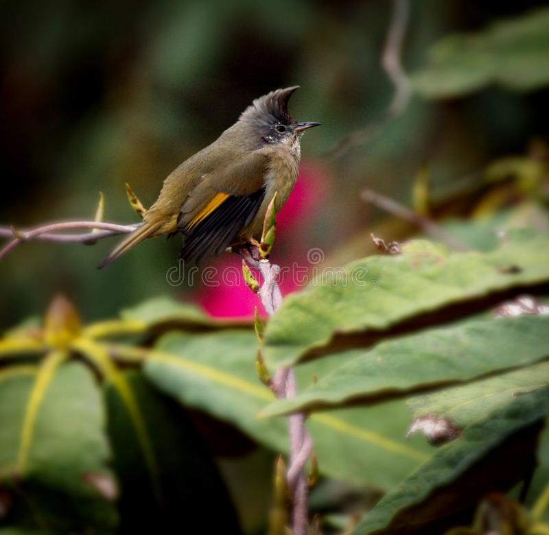 Himalayan yuhina  bird royalty free stock photos