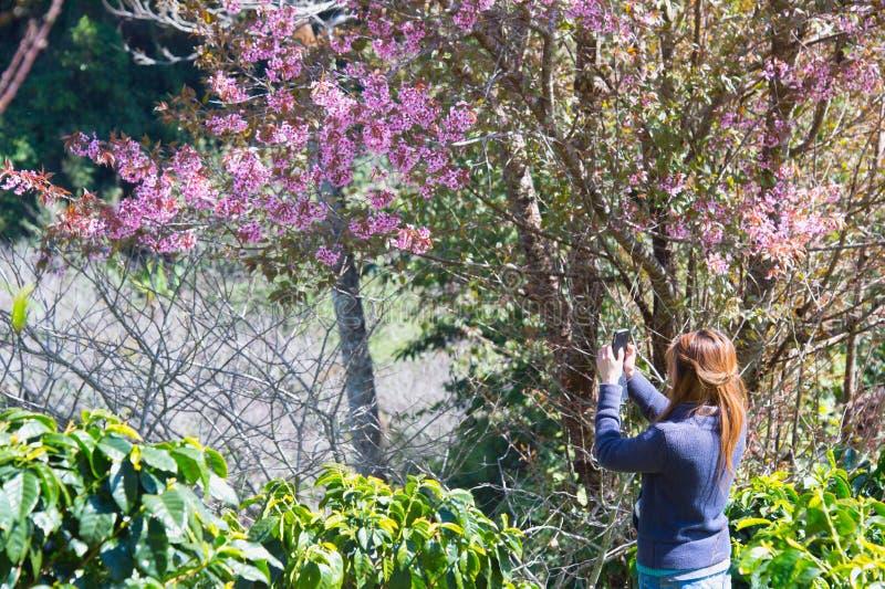 Himalayankers die (Prunus cerasoides) bij steek khon onderstel bloeien stock foto
