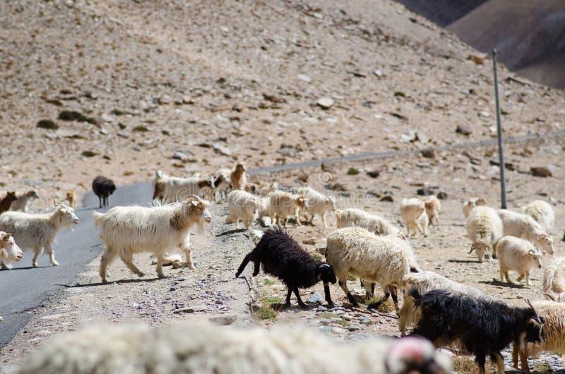 Himalayas natureza e animais na estrada Montanhas indianas Cabras e carneiros que vão uma cruz a estrada e os carros que esperam  imagens de stock royalty free